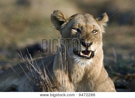 The Lioness Is Angry.