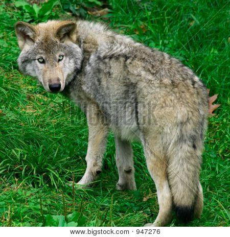 this is a young gray wolf looking back. poster