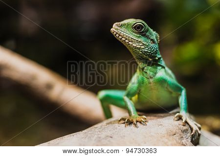 Chinese water dragon (Physignathus cocincinus).