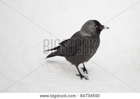 Bird Chough Chick