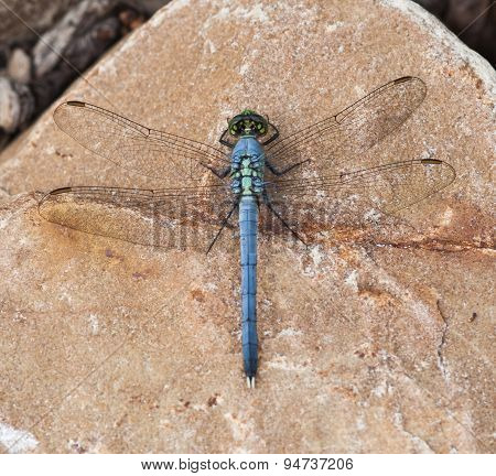 Blue Dasher on Rock