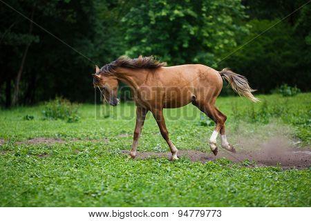 Running Young Foal