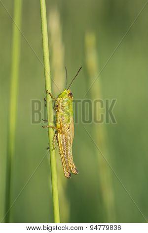 Green Grasshopper.