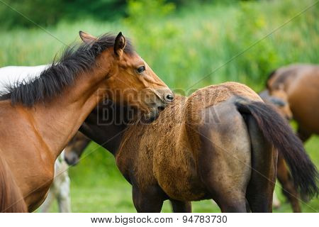 Foal Horse With Her Mother