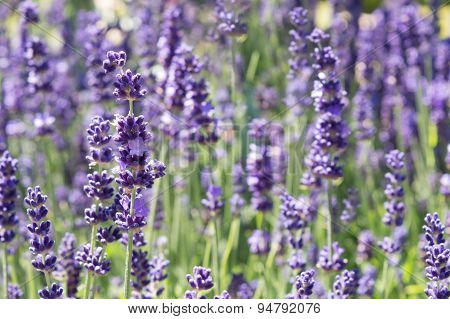 Lavender Flowers, Purple and Green