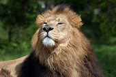 male lion with great expression on his face. poster