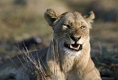 Africa.Kenya.The lioness is angry. Has woken up with bad mood. poster