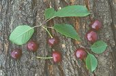 Ripe cherries with leaves on a background of tree bark. Color toning, low contrast poster