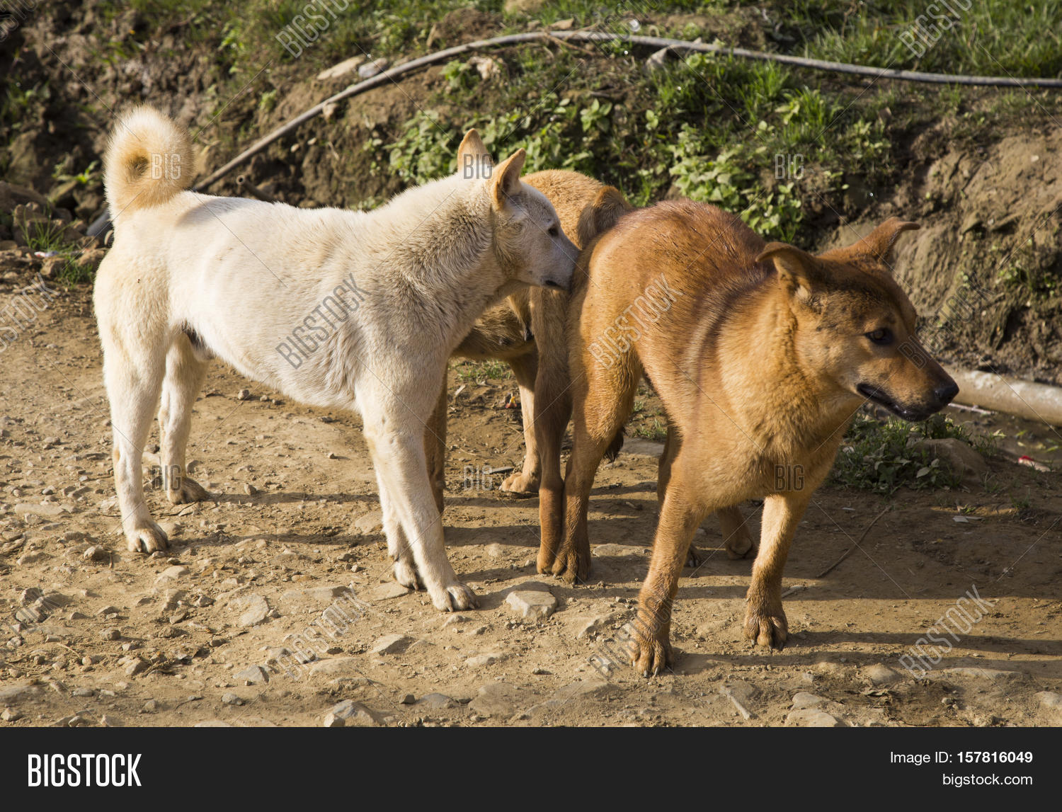 Large Dogs Mating