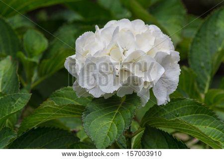 White hydrangea Hydrangea Latin belong to the genus hydrangeaceae lat. Hydrangeaceae.