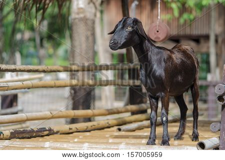 Portrait of a young black goat in ranch