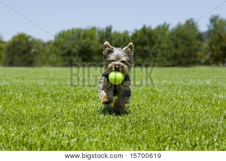 Little puppy running with a ball