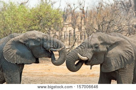 2 Elephants face each other with their trunks curled into mouth on the dry plains in Hwange National Park, Zimbabwe, Southern Africa