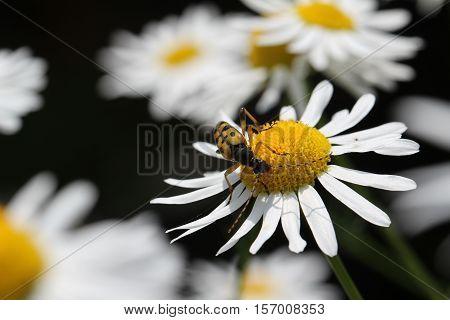 Leptura / Leptura rubra beetle sitting on a flower.