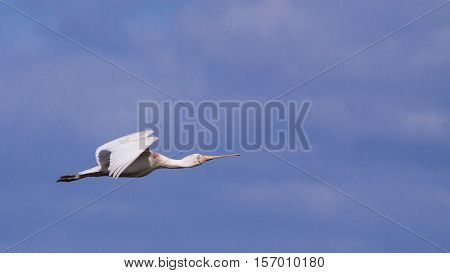 A Yellow-billed Spoonbill (Platalea regia) in flight, Perth, Western Australia.