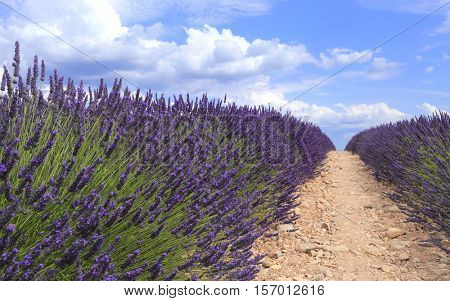 Lavender field viewed from ground in Provence. Valensole, Provence, France, Europe.