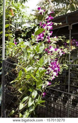 Orchid flowers on branches in a garden of orchids with a drip irrigation system.Thailand Phuket.