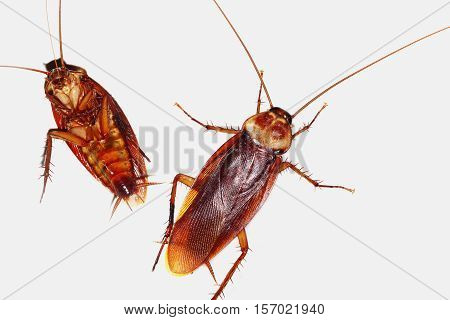 Two Cockroach on a isolated white background