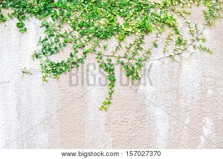 Green Creeper Plant on a Wall for home design nature background