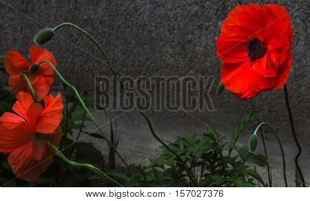 wild poppy flower. a symbol of remembrance.