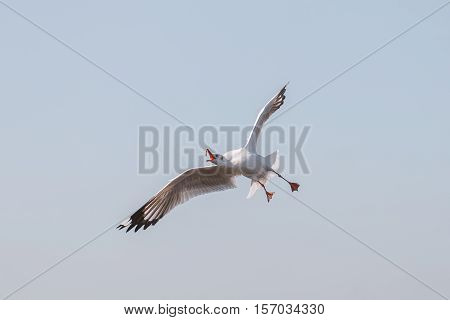 Seagull open up wings and try to eat feeding food on flying in blue sky with warm sunlight in morning.