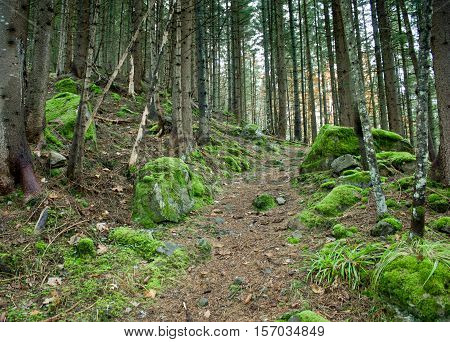 The trail the road in a pine green covered with moss forest stones in moss. Mystic forest
