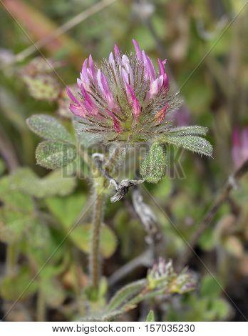 Rose Clover - Trifolium hirtum Pink Mediterranean Flower