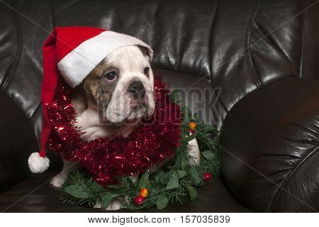 Young english bulldog wearing santa hatsitting on on black leather sofa