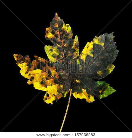 Colorful autumn maple leaf on the dark backround. Seasonal natural scene. Vibrant colors.