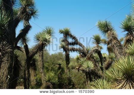 a group of Joshua Trees in a desert