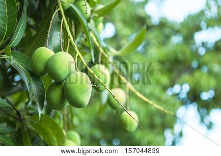 Tree branch with green mango fruits hanging. Green foliage background.