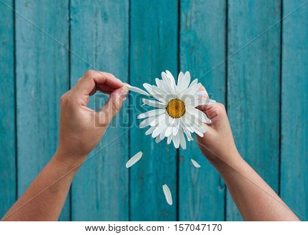 Two female hands hold in hand big white daisy petals and tear on the old blue wooden background top view