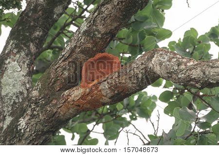 Red Ovenbird nest on a tree branch. Nest made of red clay on a tree.