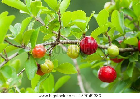 Acerola fruit hanging from branches of a Acerola tree