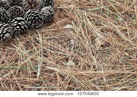 Pine cone fallen on the ground among the dry twigs on the ground.