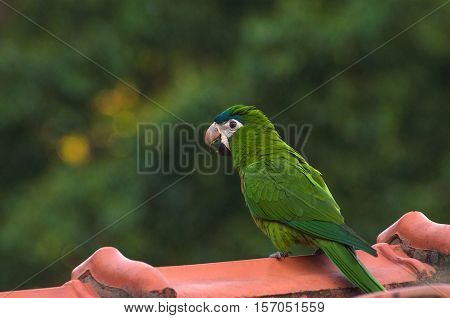 Green Parrot On The Roof Of A House With A Blurred Background Of Green Nature. Parrot Also Known As