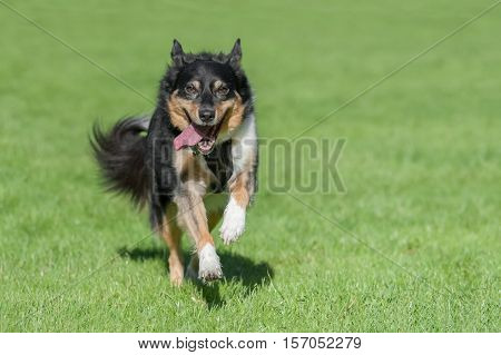 happy collie dog running in an open field