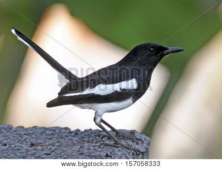 Male oriental magpie-robin (Copsychus saularis). Phuket island Thailand