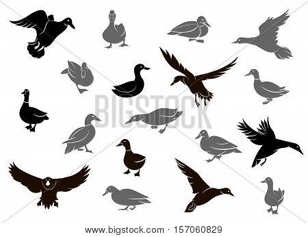 Set of flying wild ducks. Duck hunting. Duck silhouettes isolated on the white background.