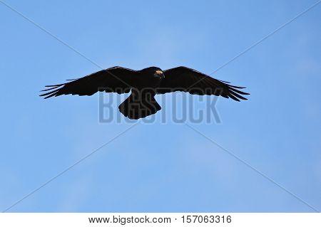 Beautiful photo of a bird - raven / crow in autumn nature. (Corvus frugilegus)