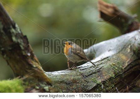 European Robin (erithacus Rubecula) Sitting On Mossy Branch In Rain.