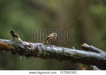 Female Common Chaffinch Perching On Wet Branch In Forest In Rain.