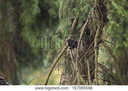 Male Common Blackbird (turdus Merula) Perched On Twig Of Pine Tree During Rain.