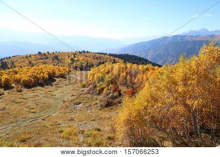 Beautiful golden autumn birch grove on the top of the mountain, Caucasus mountains, Svaneti, Georgia, Europe