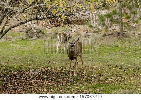 Male deer mugs for the camera around a tree in Coeur d'Alene Idaho.