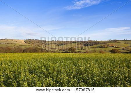 Yorkshire Wolds Mustard Crop