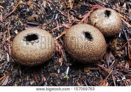 Three Lycoperdon nigrescens puffball mushrooms in the forest