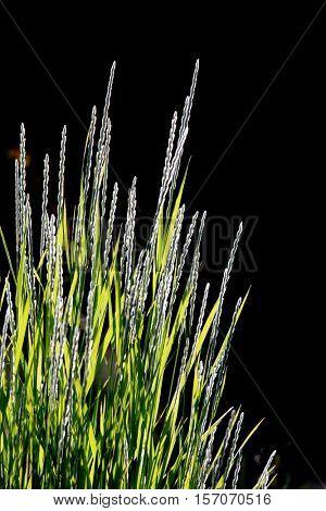 Tall ornamental  grass against black background
