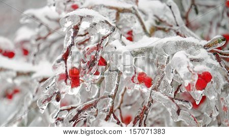 Red frozen rowan berries on a branch in the ice