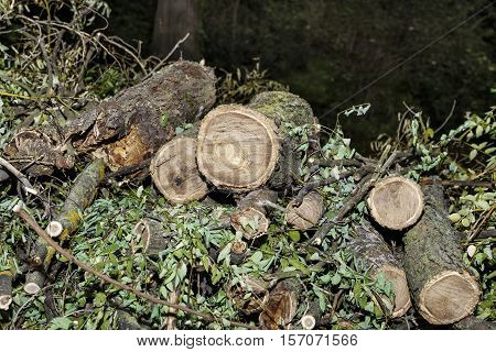 pile of cut branches trunks and leaves. Pruned tree